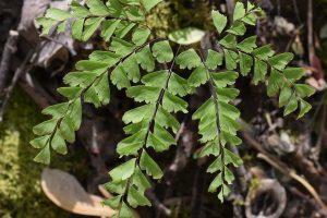 Culantrillo de Pozo: Características, usos terapéuticos y consejos para cultivar esta hermosa planta medicinal en tu casa.