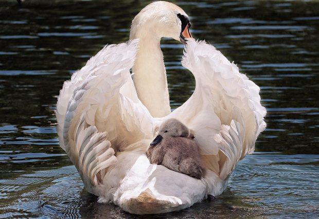 como hacemos para soltar o borrar lo que ya no nos sirve cisne con su bebe cisne ¿como hacemos para soltar o borrar lo que ya no nos sirve? ID203803 - hermandadblanca.org