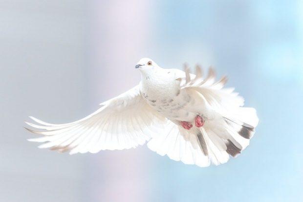 aves paloma mensajes del cielo: las aves como mensajeros espirituales ID204653 - hermandadblanca.org