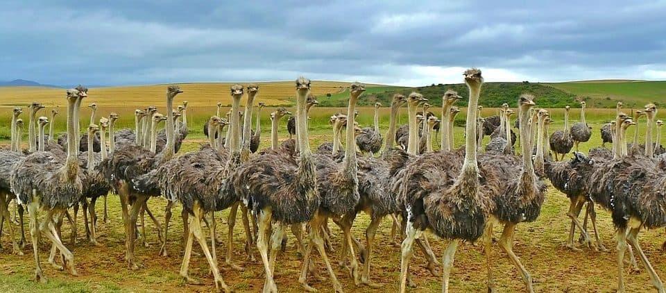 avestruces conocer las almas grupales para sanar ID205877 - hermandadblanca.org
