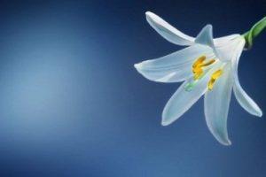 Mensaje de Santa Teresa de Lisieux: Ella tiene Lirios de Pureza