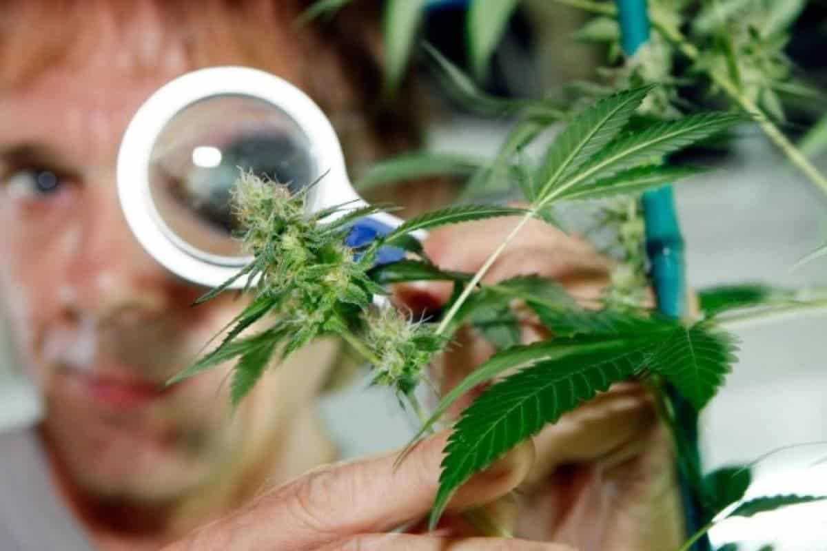 marihuana y el cancer marihuana y el cáncer, ¿puede el cannabis tratar el cáncer?, ¿pued ID208427 - hermandadblanca.org