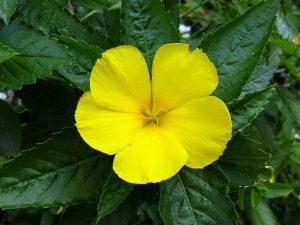 damiana 4197636 640 infusiones afrodisiacas pruebe 9 deliciosas formas de compartir i211359