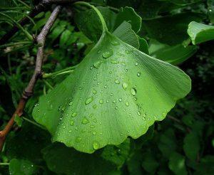 foliage 2471266 640 ginkgo biloba asombroso arbol milenario que potencia la mente i211170