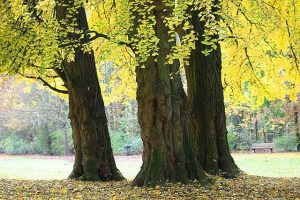 Ginkgo biloba: árbol milenario que potencia la mente