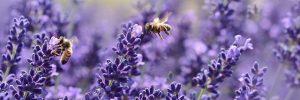 lavender 1537694 640 lavanda las flores de la relajacion y la espiritualidad i212840