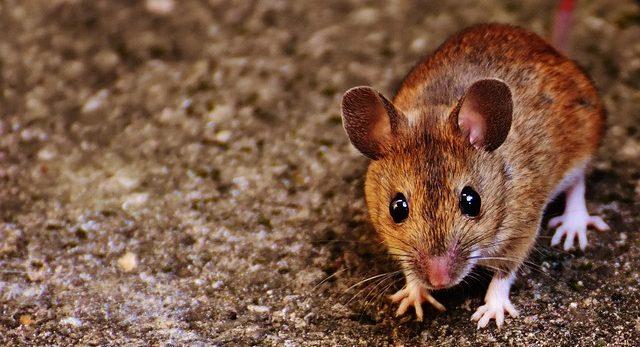 que significa soñar con ratones que significa soñar con ratones i213382