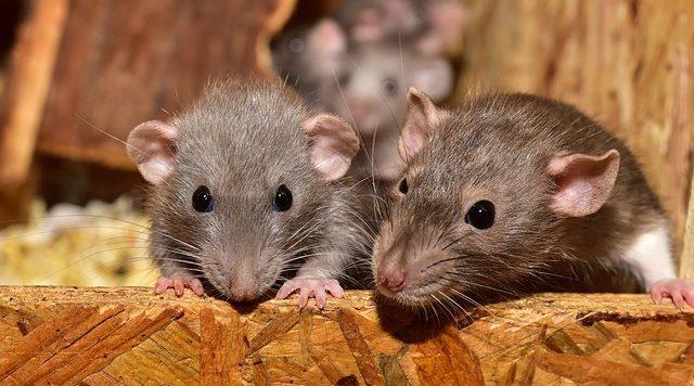 soñar con ratones que significa soar con ratones i213382