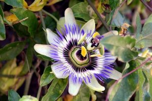 flower 4350791 640 insomnio 7 infusiones para dormir mejor i213969