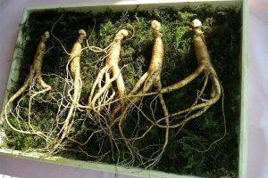 El ginseng: milagrosa raíz de la medicina china