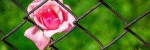 rose 3458142 340 anna bonus kingsford 7 persefone o el descenso del alma en la mate i214020