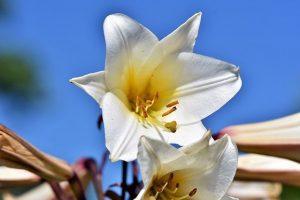 lily 3514352 640 conoces el lenguaje de las flores y su significado i215561