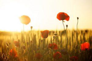 sunset 174276 640 conoces el lenguaje de las flores y su significado i215561