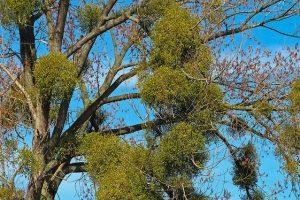 tree 2191204 640 el muerdago una planta magica con beneficios para la salud i216120