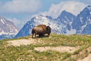 brown bison on top of brown mountain with green grass field 1058350 mensaje de adama de telos ahora comienzas a recordar i217512