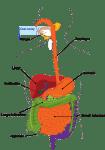 clker free vector images 29583 el apendice enemigo o aliado i217804