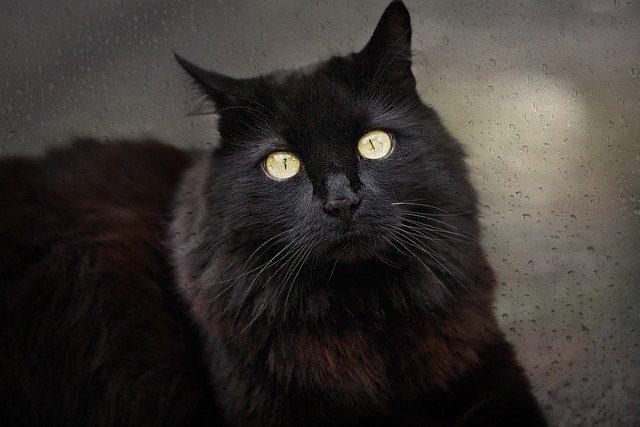 gato negro cual es el significado de soñar con un gato negro conoce de cerca i217964