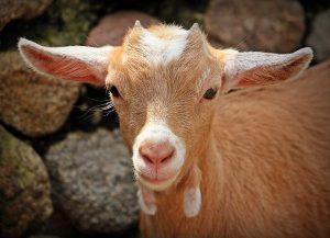 goat 1438254 1920 horoscopo chino 2020 descubre que te depara tu futuro este ao i217570