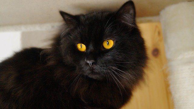 mi gato negro cual es el significado de soñar con un gato negro conoce de cerca i217964
