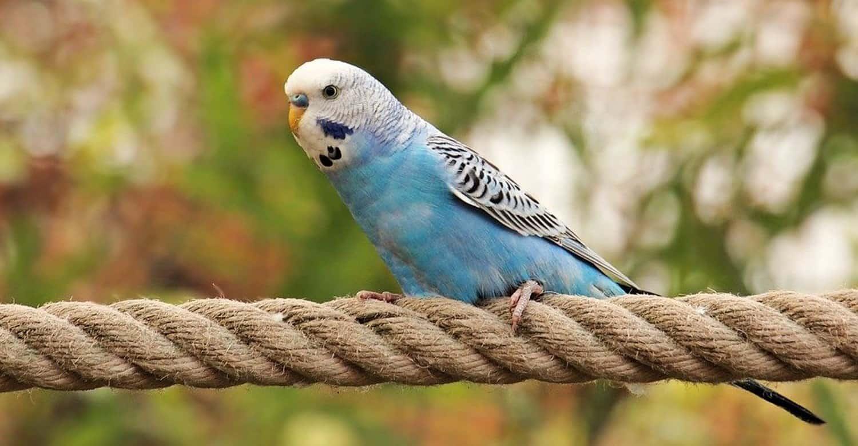 periquito azul vivir en la jaula o fuera de ella he alli el dilema8230 i216708