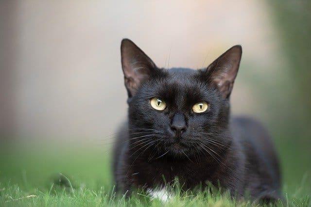 significado de soñar con un gato negro cual es el significado de soar con un gato negro conoce de cerca i217964
