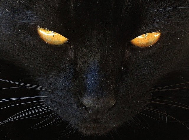 significado de soar con un gato negro acicalandolo cual es el significado de soar con un gato negro conoce de cerca i217964