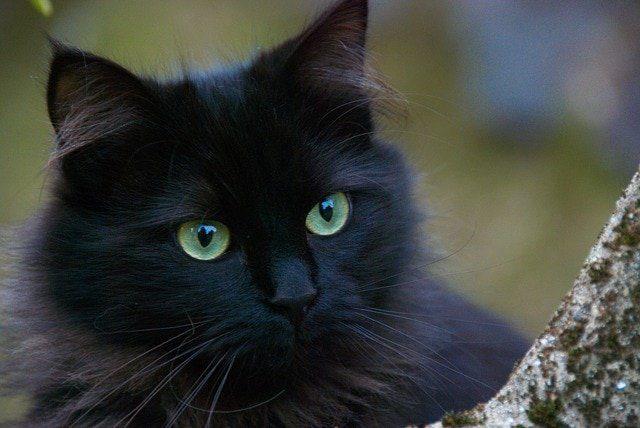 significado de soñar con un gato negro muerto cual es el significado de soar con un gato negro conoce de cerca i217964