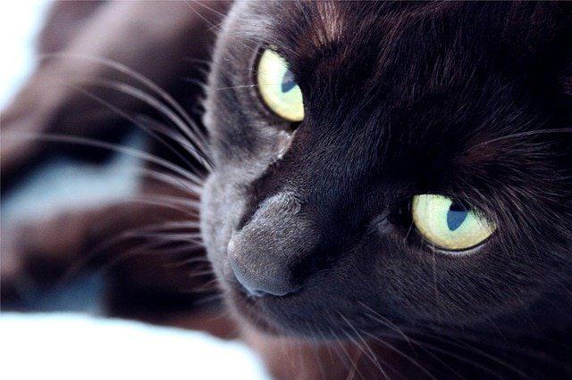 soar con un gato negro cual es el significado de soñar con un gato negro conoce de cerca i217964