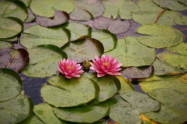 water lily 4410471 640 enfermedades empaticas absorbes los sintomas de otras personas i217635