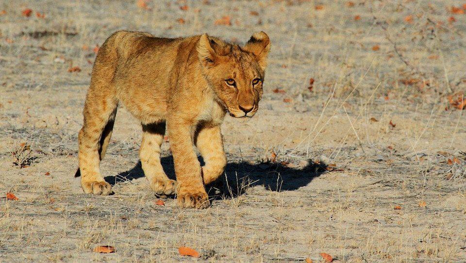 lion 1305797 960 720 motivacion 7 desarrollo del caracter i218921