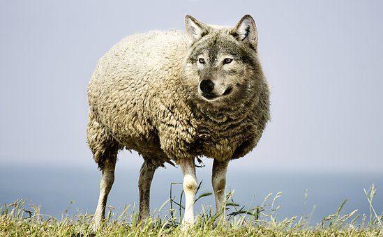 wolf in sheeps clothing 2577813 340 motivacion 9 el que miente se miente i219185