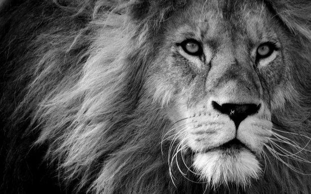 lion 3260558 1280 todo es amor o la falta de el ivo de vega a traves de sharon stewart i220885