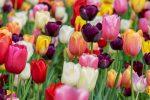 tulip 3365630 1280 plantando el jardin de tu alma canalizacion del arcangel gabriel i221299