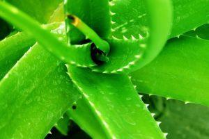 sabila aloe vera 4 plantas que deberias tener en tu casa i223093