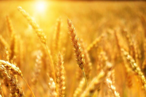 wheat 3506758 1280 saint germain y ows via james mcconnel y shoshanna i228113