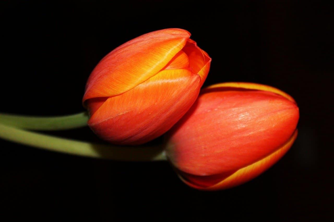 tulips 1059928 1280 uno que sirve y shoshanna ordenes de marcha 1da parte i229661