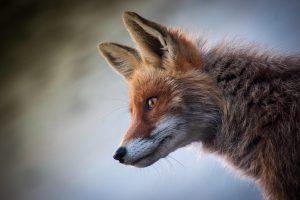 fox 4589927 1280 atrevete a ser diferente i234328