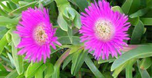 una de gato flor hb una de gato una planta con propiedades y beneficios insolitos para la i235005